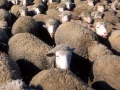 pecore-montecilfone